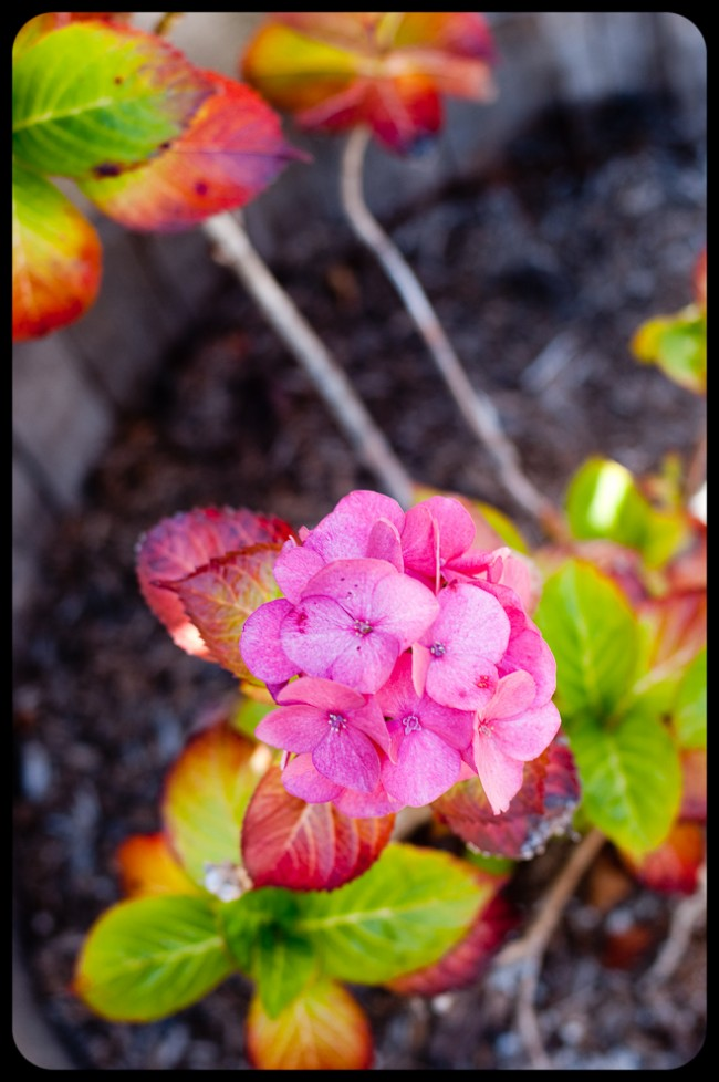 Young Hydrangea